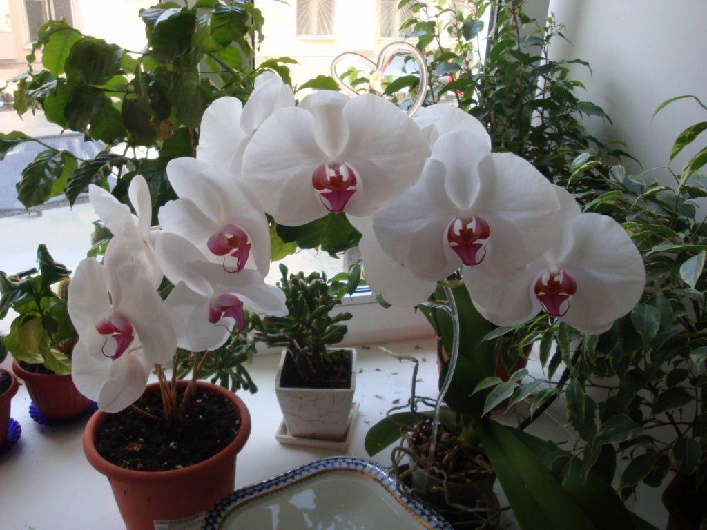 Как правильно посадить и вырастить орхидеи