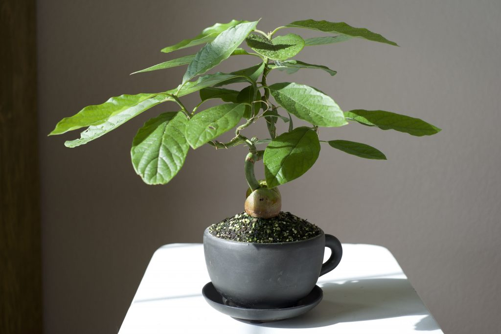 Экзотика в квартире: авокадо